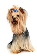 cute yorkshire terrier in a wehite studio
