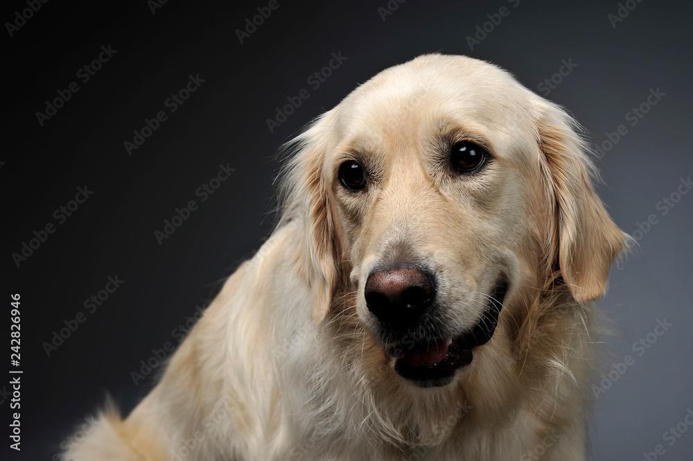 Fototapety, obrazy: Golden retriever portrait in a dark studio