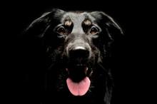 Mixed Breed Black Dog Portrait In Dark Background Studio