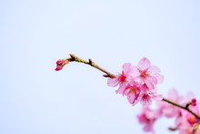 Beautiful Cherry Blossoms Sakura Tree Bloom In Spring Over Blue Sky, Copy Space, Close Up.
