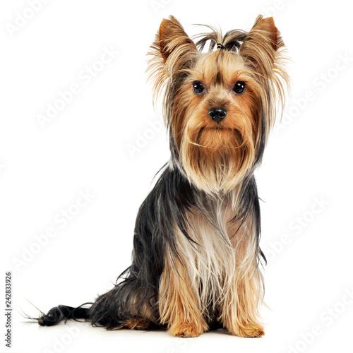 Very Nice Long Hair Yorkshire Terrier In Studio Buy This