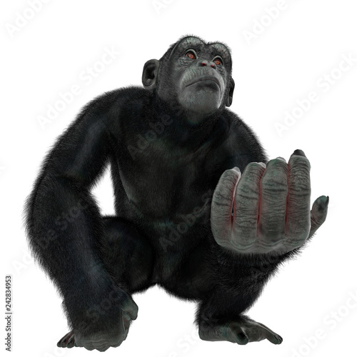 Fotografering chimpanzee in a white background