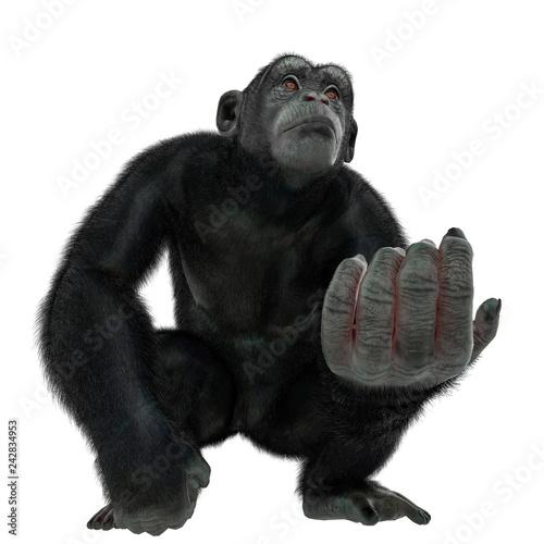 Obraz na plátně chimpanzee in a white background