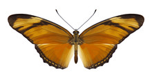 Butterfly Dryas Iulia On A Whi...