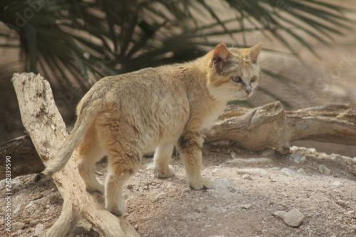Fotografie, Obraz  Petit chat sauvage