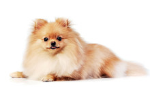 Studio Shot Of An Adorable Pomeranian Dog