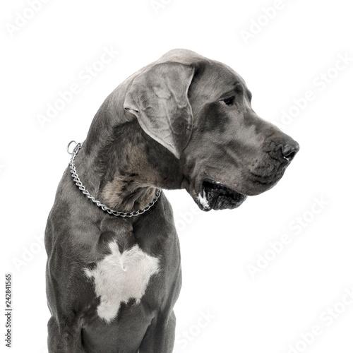 Fototapeta Studio shot of an adorable Great Dane dog obraz