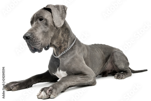 Fototapeta Studio shot of an adorable Great Dane dog obraz