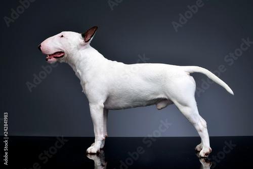 Cuadros en Lienzo Studio shot of an adorable Bull terrier