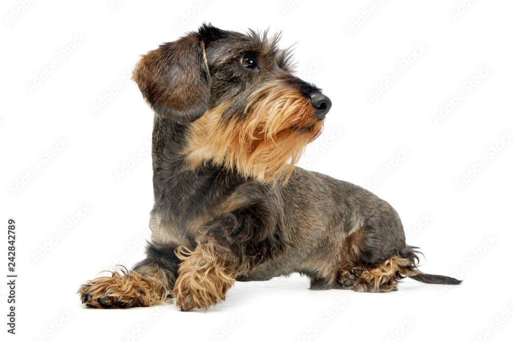Fototapety, obrazy: Studio shot of an adorable wire haired Dachshund