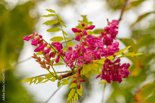 Robinia Hispida Known As The Bristly Locust Rose Acacia Or Moss