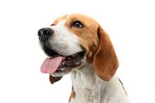 Portrait Of An Adorable Beagle