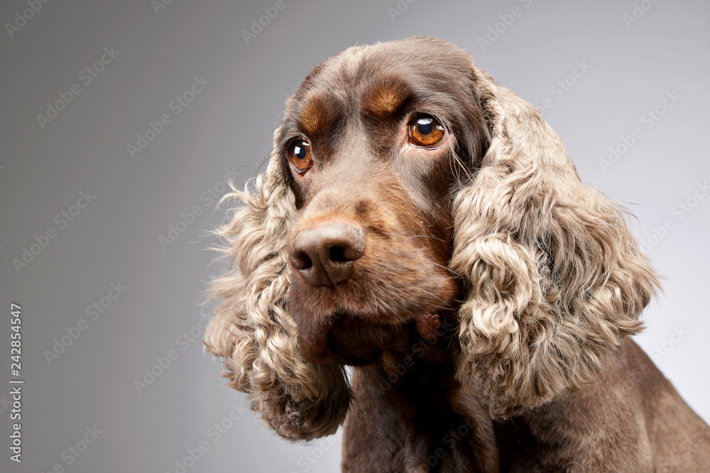Fototapety, obrazy: Portrait of an adorable English Cocker Spaniel
