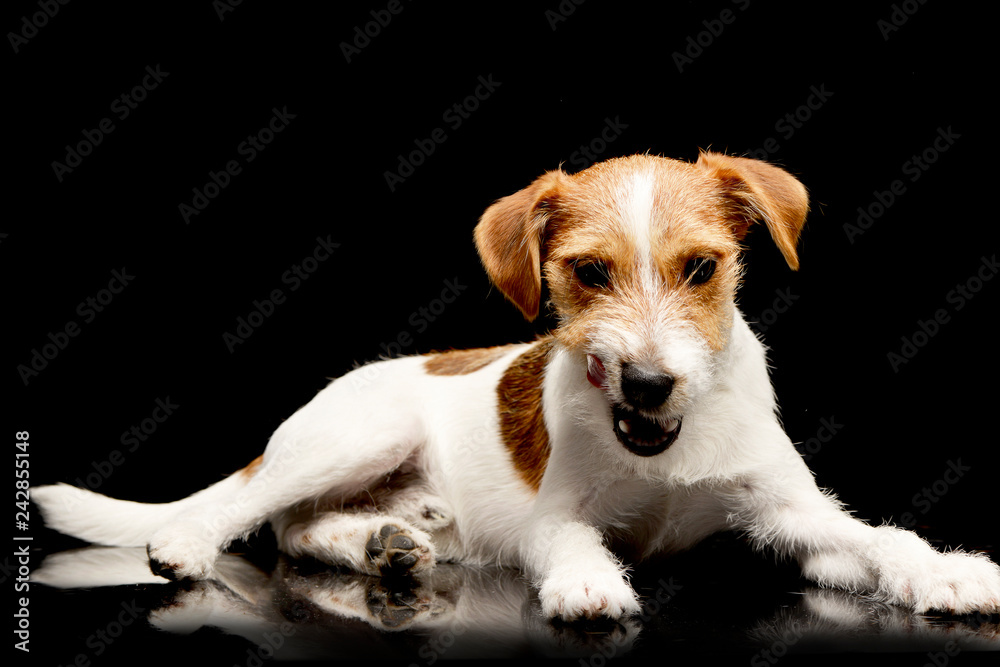 Fototapety, obrazy: An adorable Jack Russell Terrier chewing a bone