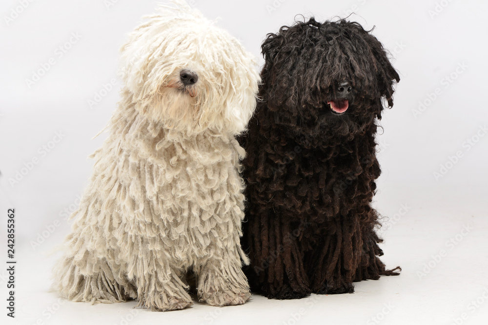 Fototapety, obrazy: Studio shot of two adorable Puli