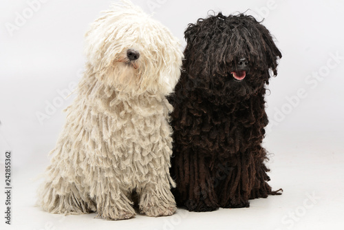 Studio shot of two adorable Puli Canvas Print