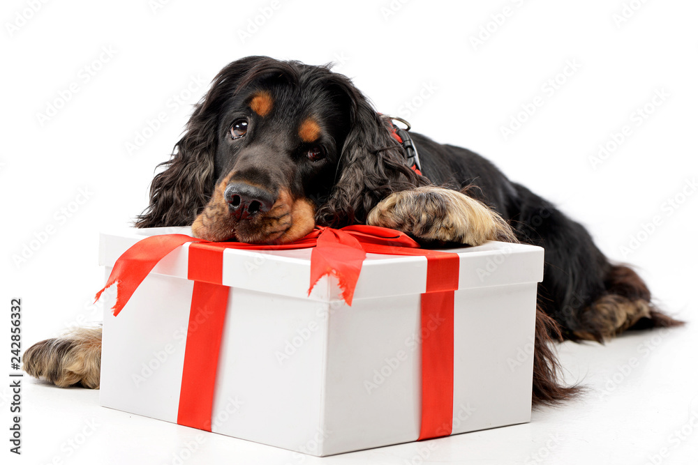Fototapety, obrazy: An adorable English Cocker Spaniel with a giftbox