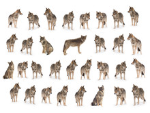 Collage Of Wolves  (canis Lupu...
