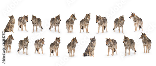 Door stickers Wolf pack of wolves