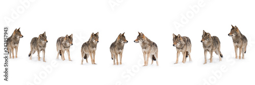Photo sur Toile Loup pack of wolves