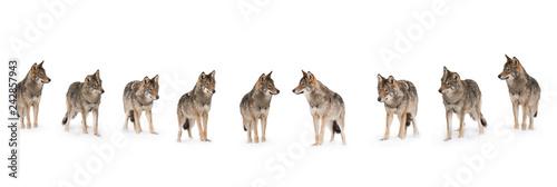 Poster de jardin Loup pack of wolves