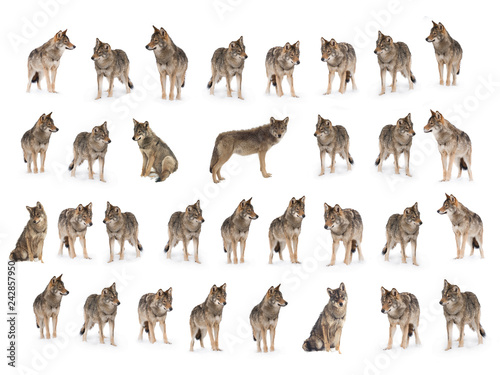 Obraz na plátně  collage of wolves  (canis lupus) isolated