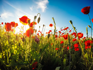 Blooming red poppies on field against the sun, blue sky. Wild flowers in springtime.