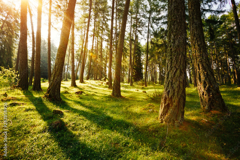 Fototapety, obrazy: Magical woods in the morning sun. Fairy forest in springtime.