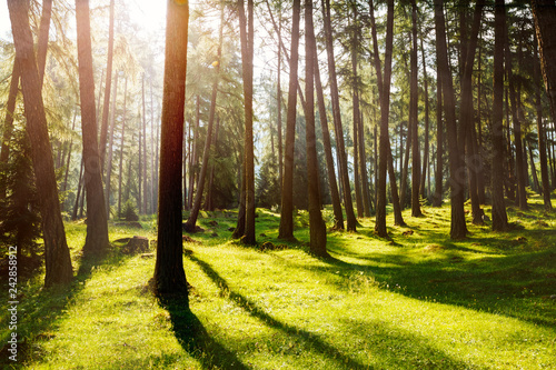 Fototapeten Wald Magical woods in the morning sun. Fairy forest in springtime.