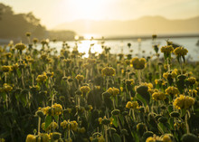 Golden Sunset Looking Over Yellow Flowers At San Francisco Bay