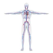 Human Circulatory System Illustration