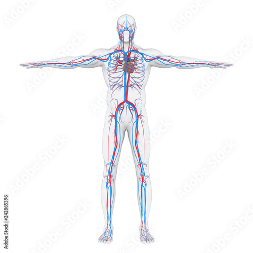 Fototapeta Human Circulatory System Illustration obraz