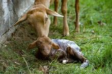 Sheep And Newborn Lamb
