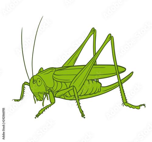 Canvas Print Grasshopper  of white background, graphic