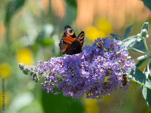 Fototapeta  Papillon Aglais io - Paon-du-jour posé sur fleur de buddleia