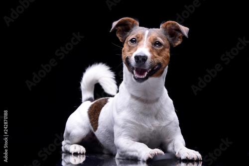 Fotografie, Obraz  Studio shot of an adorable Jack Russell Terrier