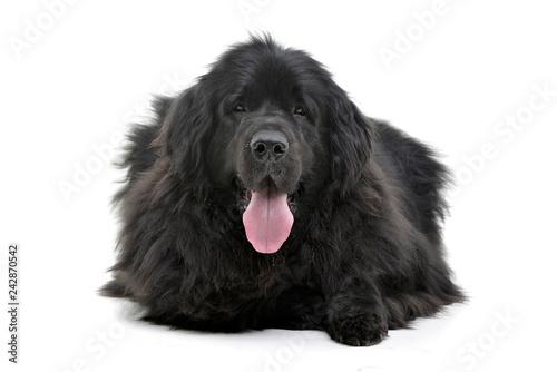 Studio shot of an adorable Newfoundland dog Fototapeta