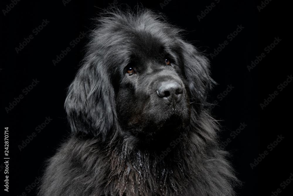 Fototapety, obrazy: Portrait of an adorable Newfoundland dog
