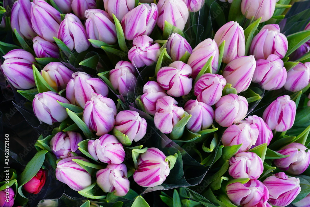 Fototapety, obrazy: Bunches of colorful pink tulips in cellophane paper at the flower market