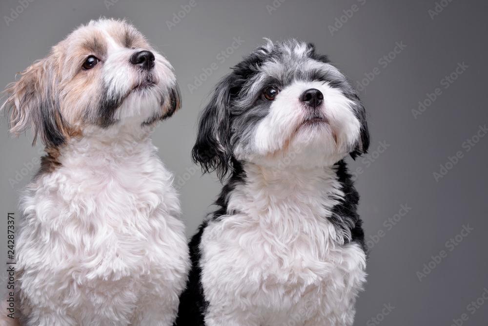 Fototapety, obrazy: Studio shot of two adorable Havanese dog