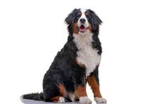 Studio Shot Of An Adorable Bernese Mountain Dog