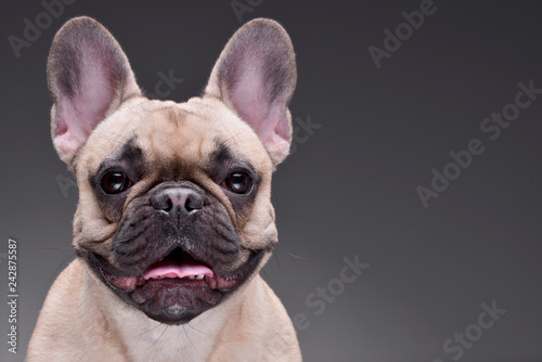 Portrait of an adorable French bulldog Canvas Print