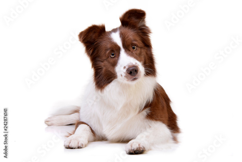 Poster Chien Studio shot of an adorable Border Collie