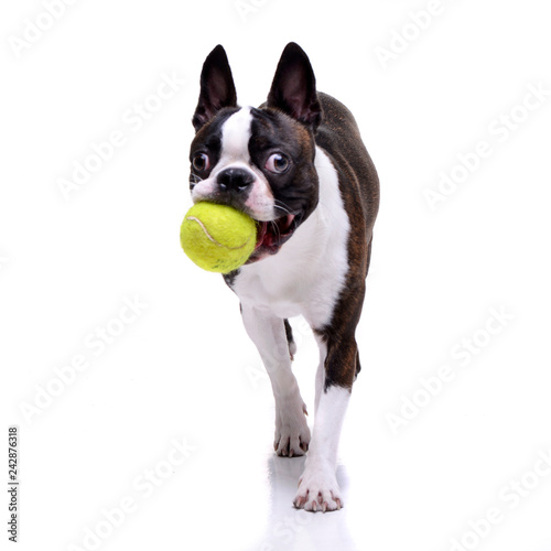 Obraz An adorable Boston Terrier playing with a tennis ball - fototapety do salonu