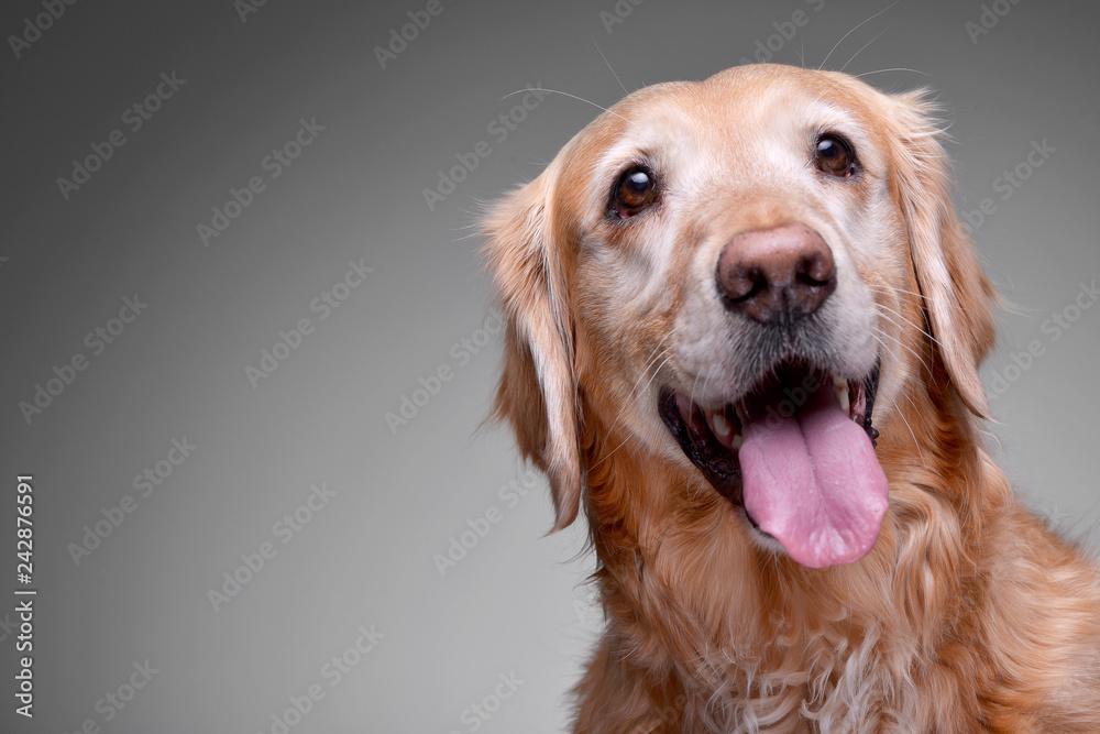 Portrait of an adorable Golden retriever