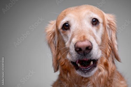 Fototapeta Portrait of an adorable Golden retriever obraz na płótnie