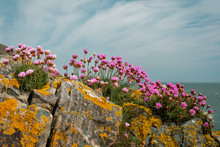 Beautiful Pink Sea Thrift Flowers Also Known As Sea Pink, Armeria Maritima, Growing On Rocks Covered In Yellow Lichen On The Irish East Coast.