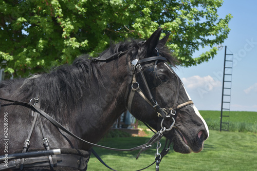 Black Tacked Horse with a Bridle on a Farm