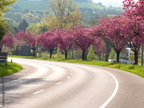 Frühling, Kirschbäume, Allee, Kirschblüte