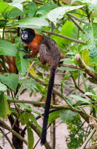 Capuchin Monkey Isla de Los Monos Wallpaper Mural
